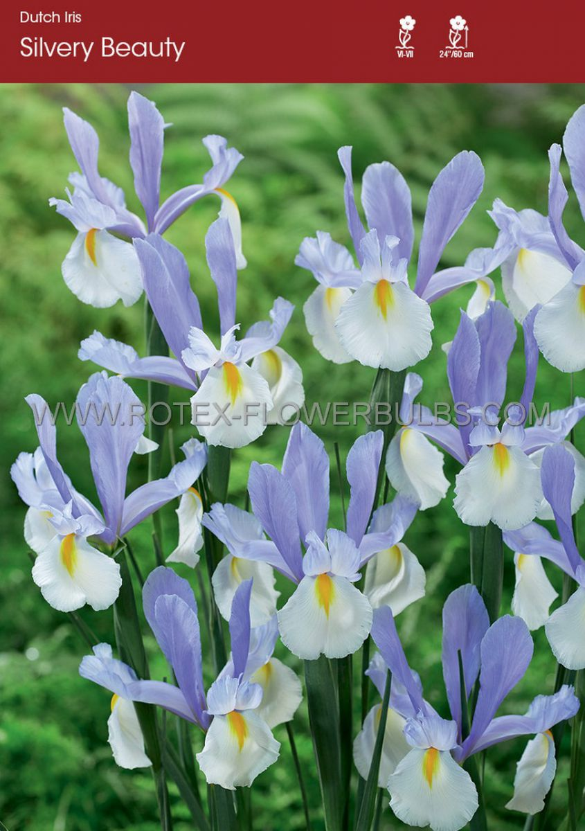 miscellaneous dutch iris silvery beauty 89 cm 250 pbinbox