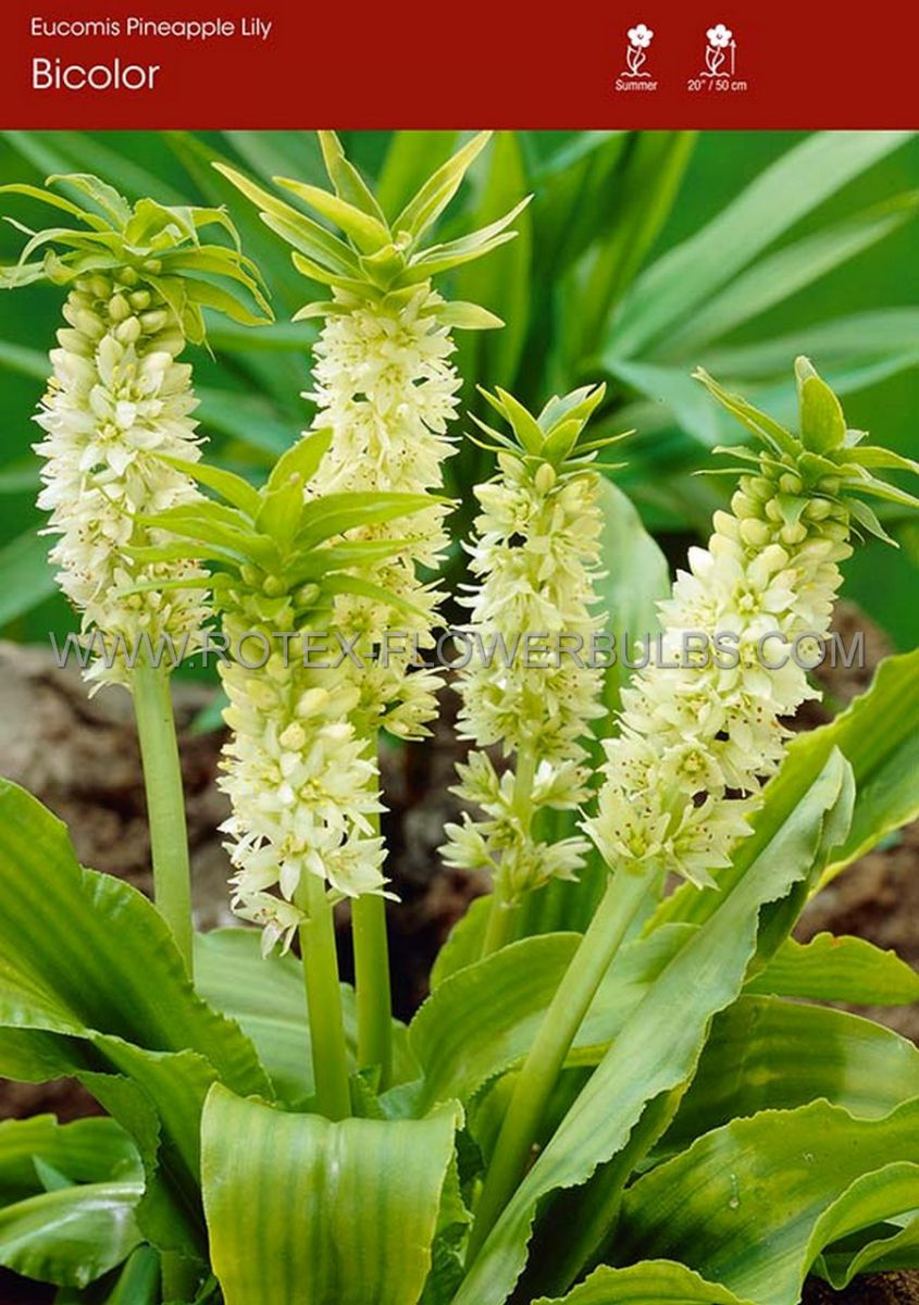 miscellaneous eucomis pineapple lily bicolor 1416 cm 25 pcarton