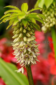 MISCELLANEOUS EUCOMIS (PINEAPPLE LILY) BICOLOR 16/+ (15 PKGS.X 1)