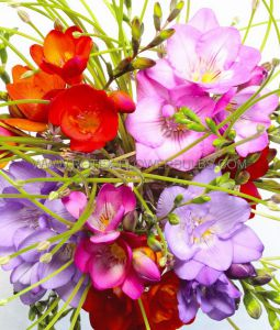 MISCELLANEOUS FREESIA SINGLE 'MIX' 5/6 CM. (20 PKGS.X 10)