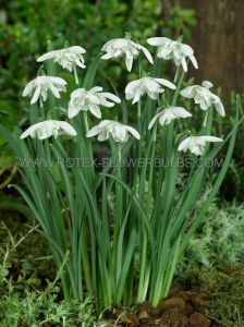 MISCELLANEOUS GALANTHUS 'PLENUS DOUBLE' 5/+ CM. (100 P.BINBOX)