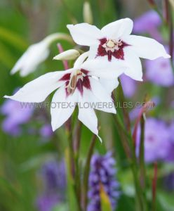 MISCELLANEOUS GLADIOLUS (ACIDANTHERA) CALLIANTHUS 'MURIELEA' 8/10 CM. (25 P.CARTON)