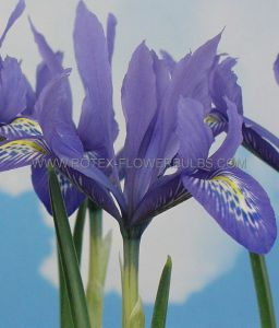 MISCELLANEOUS IRIS MINIATURE 'LADY BEATRIX STANLEY' 6/7 CM. (100 P.BINBOX)