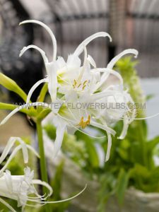 MISCELLANEOUS ISMENE 'FESTALIS' 24/26 CM. SUPER SIZE BULBS (30 P.WOODEN CRATE)
