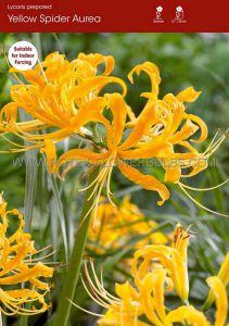 MISCELLANEOUS LYCORIS AUREA 'GOLDEN SPIDER LILY' 12/14 CM. (25 P.BINBOX)