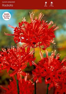 MISCELLANEOUS LYCORIS RADIATA 'RED SPIDER LILY' 10/12 CM. (50 P.BINBOX)