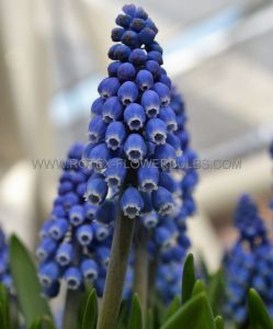MISCELLANEOUS MUSCARI 'DARK EYES' 9/10 CM. (15 PKGS.X 10)