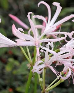 MISCELLANEOUS NERINE (GUERNSEY LILY) BOWDENII 12/14 CM. (25 P.CARTON)