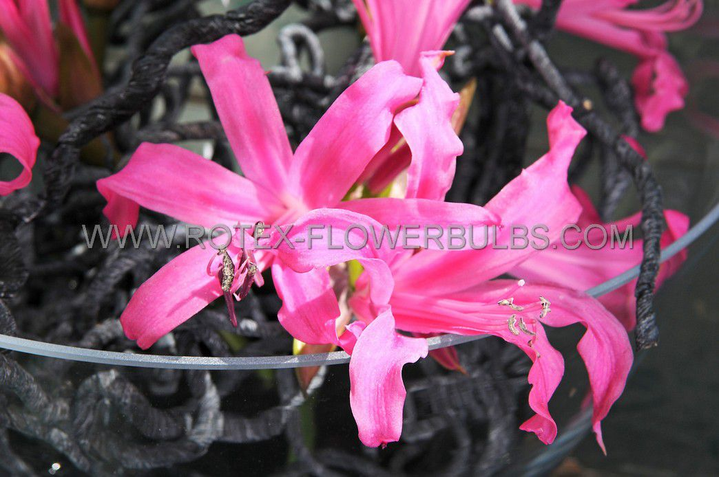 miscellaneous nerine guernsey lily bowdenii 1214 cm 25 pcarton