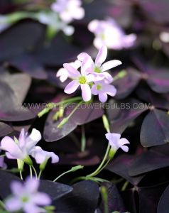 MISCELLANEOUS OXALIS 'TRIANGULARIS' I (20 PKGS.X 10)