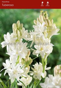 MISCELLANEOUS POLIANTHES TUBEROSA 'THE PEARL' II (10 PKGS.X 3)