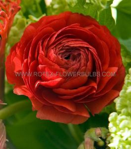 MISCELLANEOUS RANUNCULUS 'RED' 6/7 CM. (100 P.BINBOX)