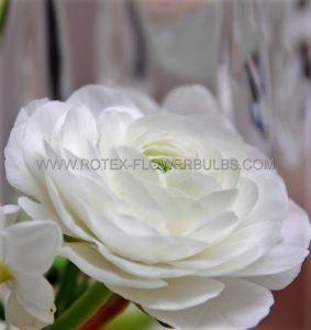 MISCELLANEOUS RANUNCULUS 'WHITE' 6/7 CM. (100 P.BINBOX)