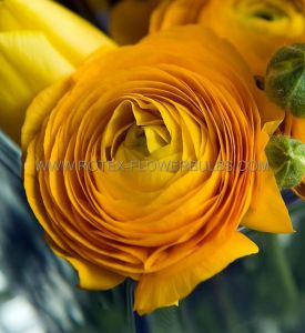 MISCELLANEOUS RANUNCULUS 'YELLOW' 6/7 CM. (100 P.BINBOX)