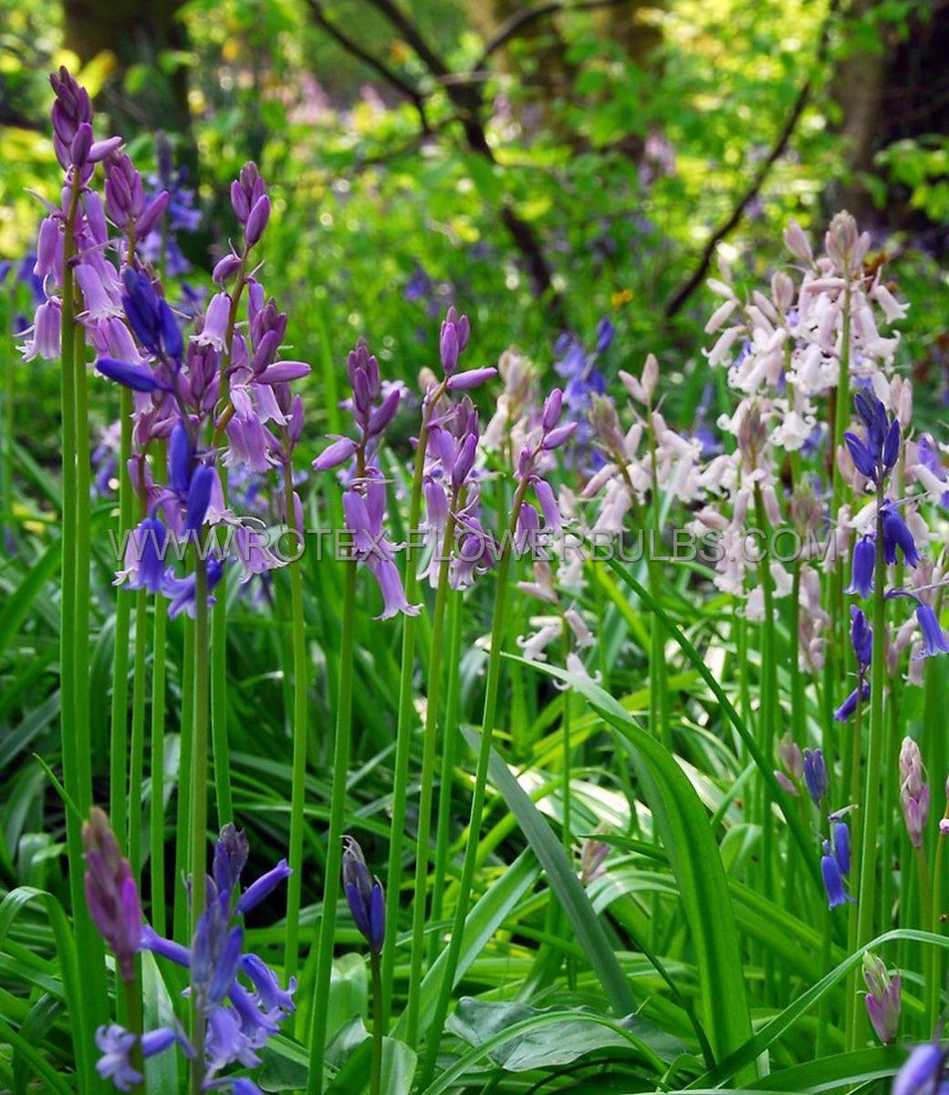 miscellaneous scilla hyacinthoides hispanica mix 810 cm 15 pkgsx 10