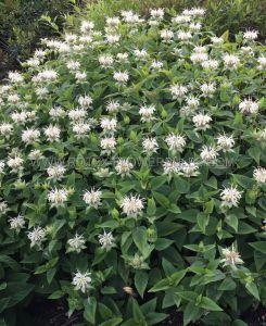 MONARDA (BERGAMOT) 'BEE-BRIGHT' I (25 P.BAG)
