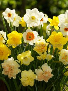 NARCISSUS 'ALL SEASON SPECTRUM MIX' 12-14 (300 P.PLASTIC TRAY)
