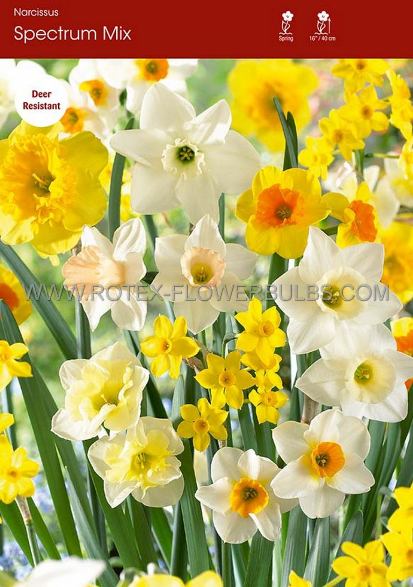 narcissus all season spectrum mix 1214 300 pplastic tray