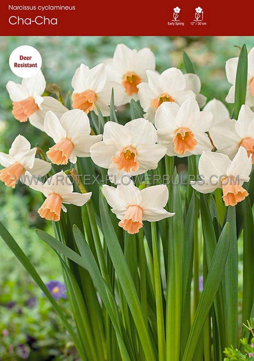 narcissus botanical cha cha 12 cm 100 pbinbox