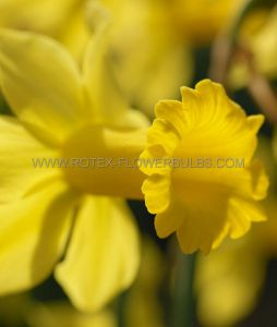 NARCISSUS BOTANICAL 'FEBRUARY GOLD' 12/+ CM. (10 PKGS.X 5)