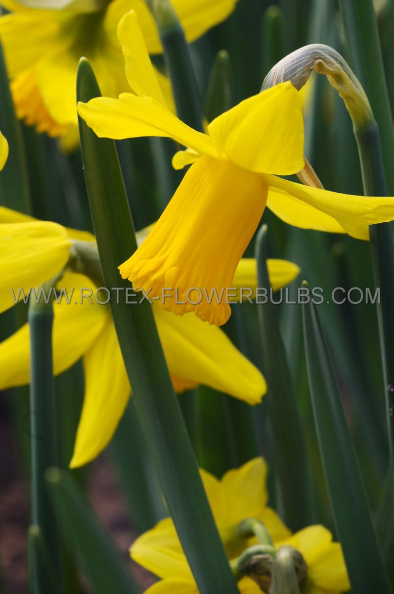 narcissus botanical february gold 12 cm 10 pkgsx 5