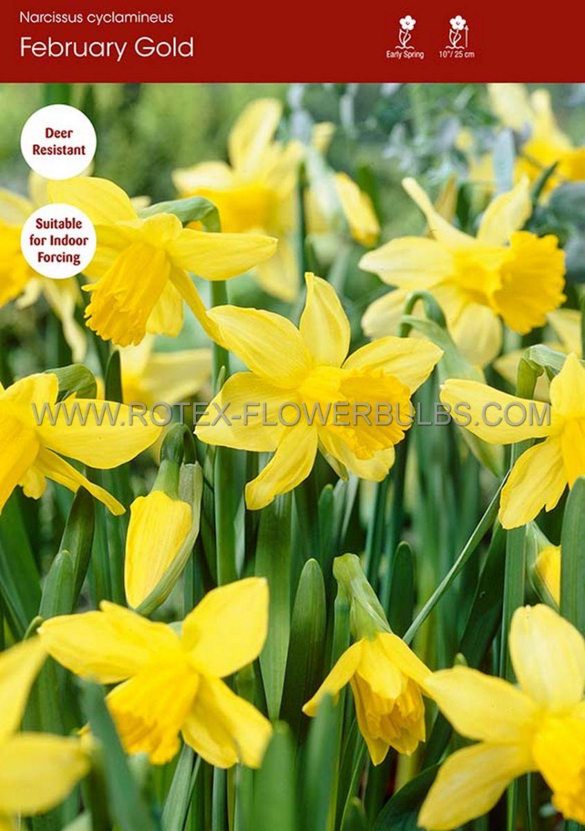 narcissus botanical february gold 12 cm 100 pbinbox
