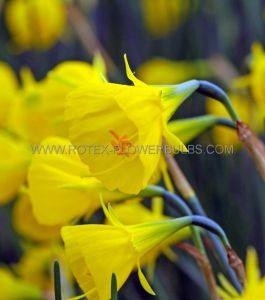 NARCISSUS BOTANICAL 'GOLDEN BELLS' 7/8 CM. (100 P.BINBOX)