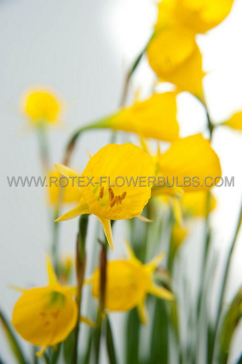 narcissus botanical golden bells 78 cm 100 pbinbox