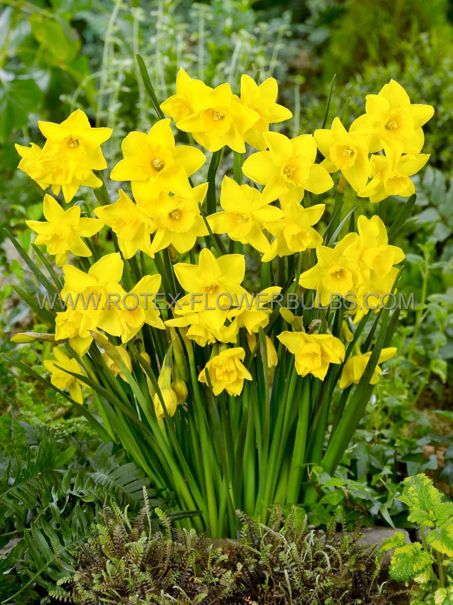 narcissus botanical growers pride 1012 cm 10 pkgsx 5