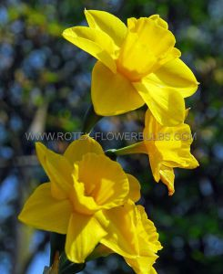 NARCISSUS BOTANICAL 'GROWER'S PRIDE' 10/12 CM. (100 P.BINBOX)