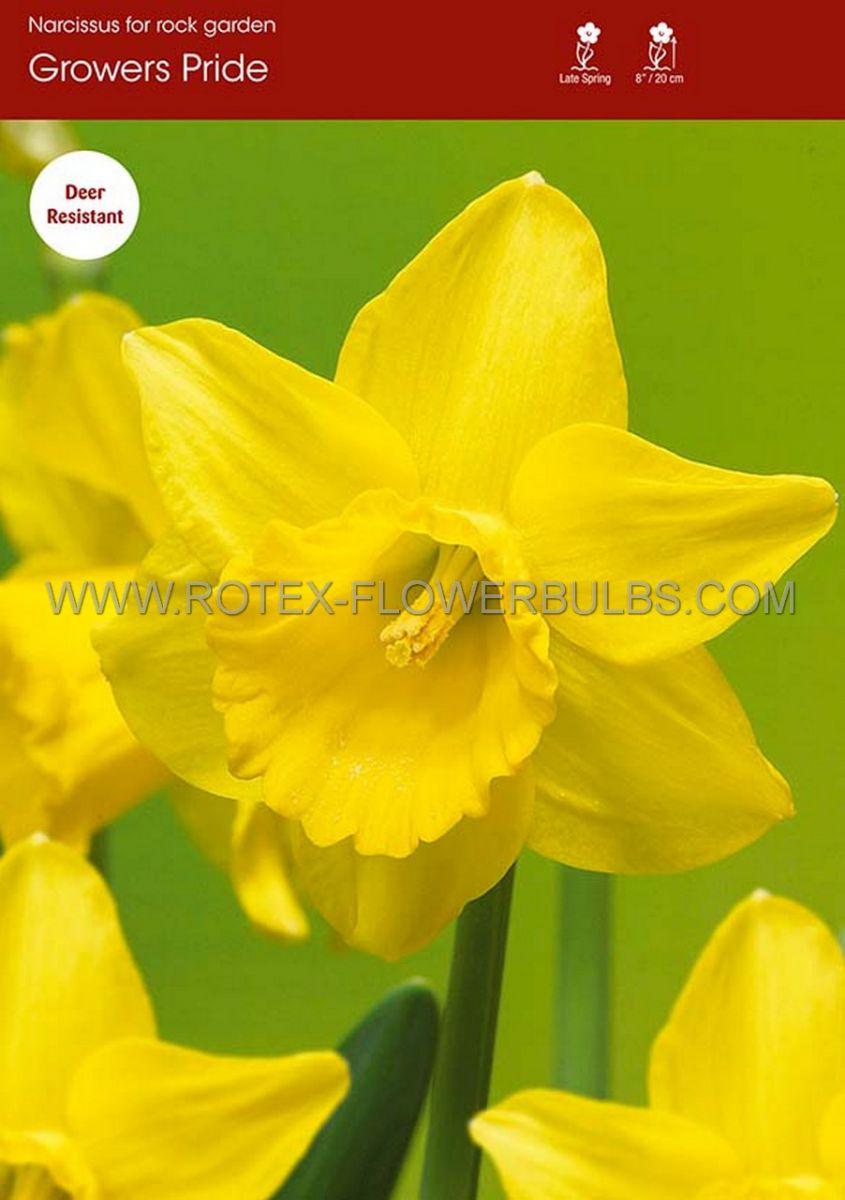 narcissus botanical growers pride 1012 cm 100 pbinbox