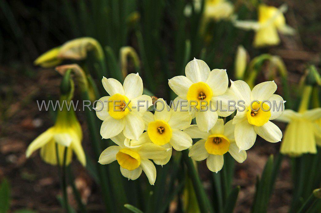 narcissus botanical minnow 12 cm 100 pbinbox