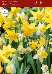 NARCISSUS BOTANICAL 'MIX' 10/12 CM. (100 P.BINBOX)
