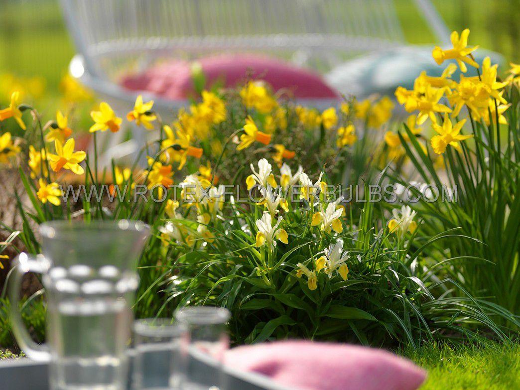 narcissus botanical mix 1012 cm 100 pbinbox