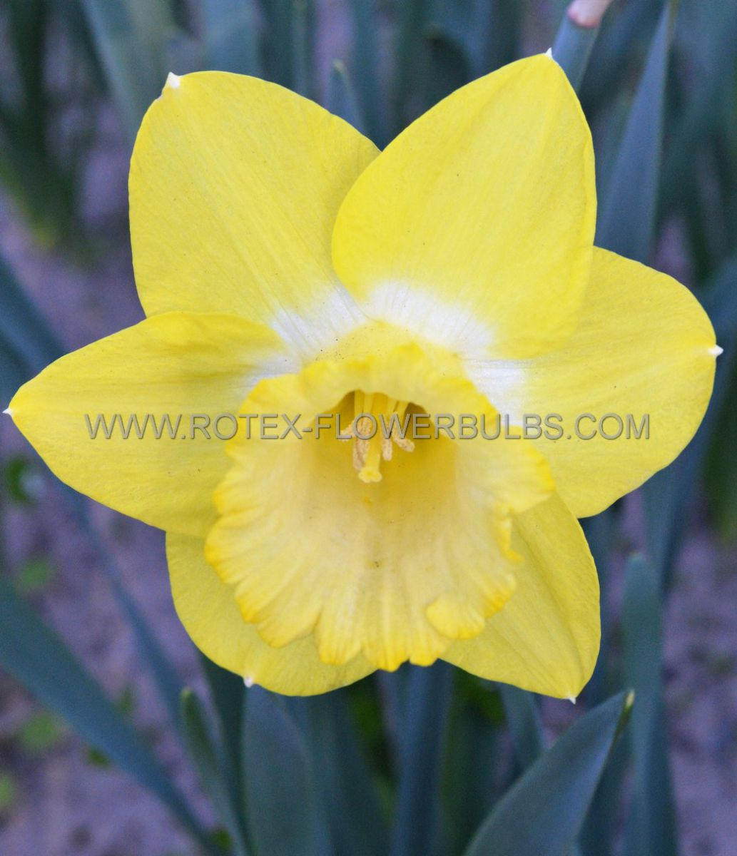 narcissus botanical pipit 12 cm 100 pbinbox