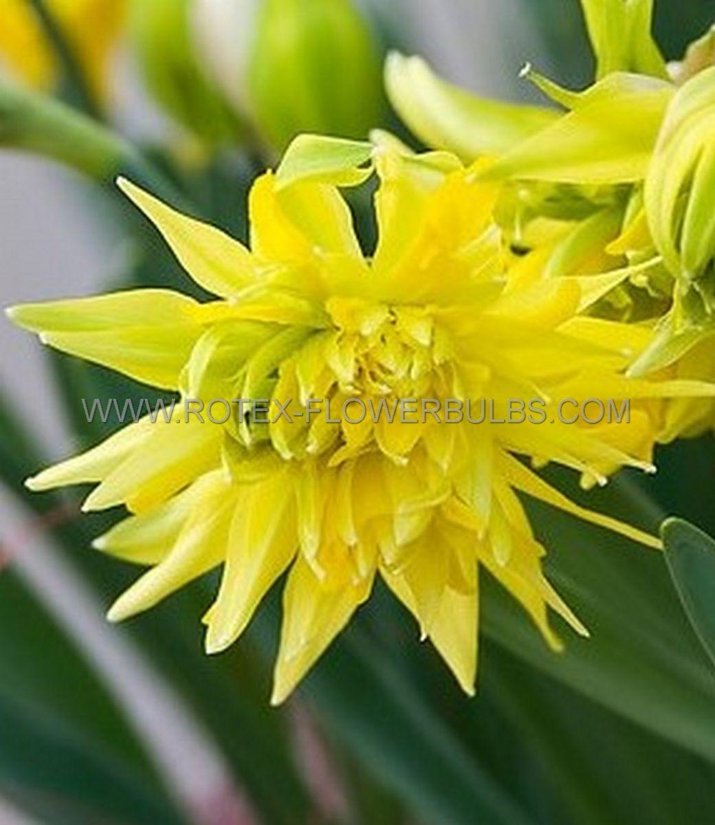 narcissus botanical rip van winkle 1012 cm 100 pbinbox