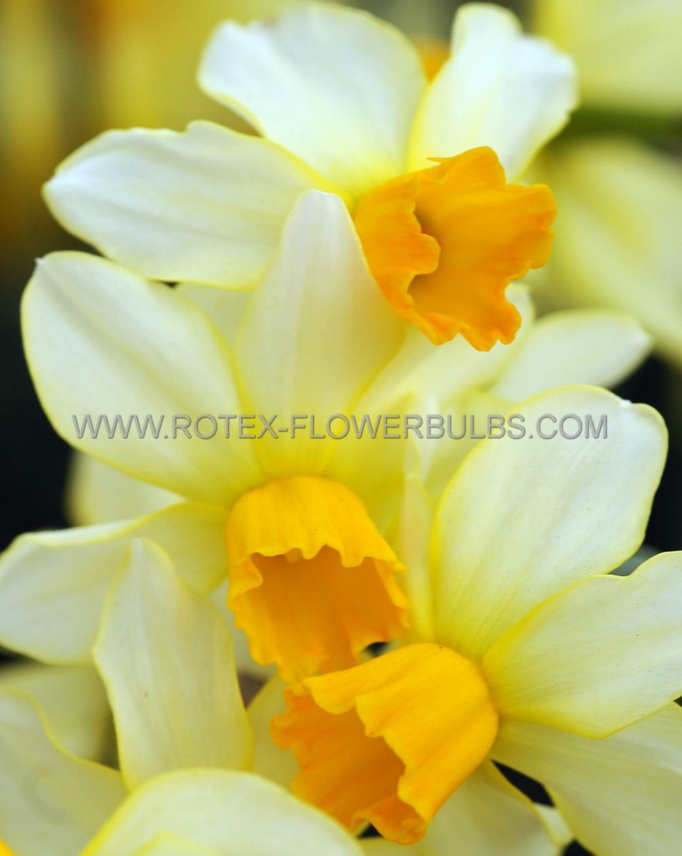 narcissus botanical spring sunshine 12 cm 100 pbinbox