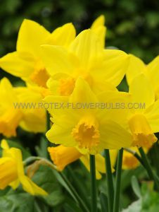 NARCISSUS BOTANICAL 'SWEETNESS' 12/14 CM. (400 P.CARTON)