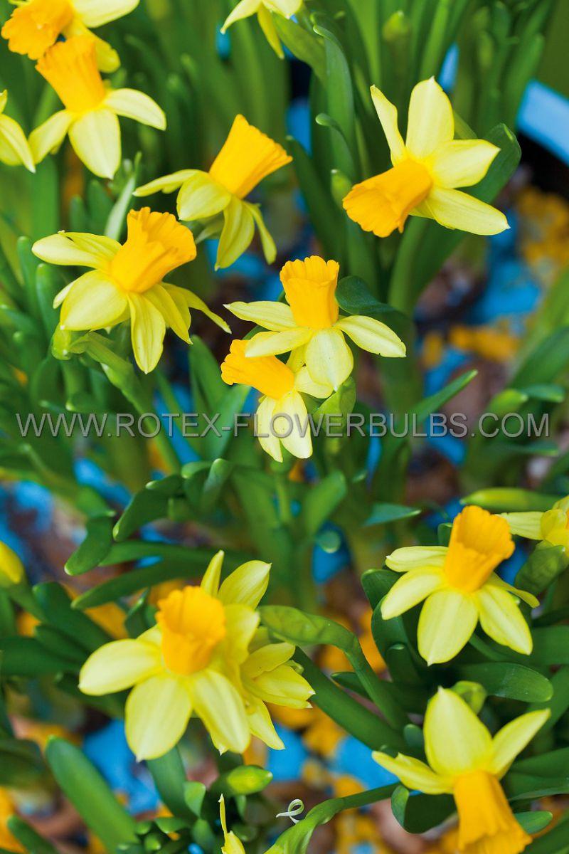 narcissus botanical tete a tete 14 cm 400 pplastic tray