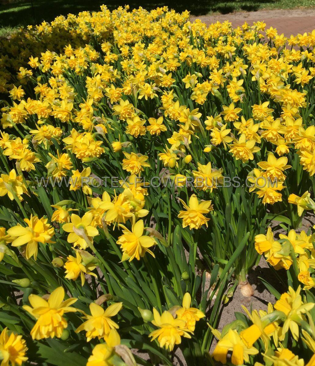 narcissus botanical tete boucle 12 cm 100 pbinbox