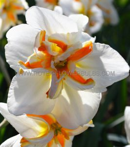 NARCISSUS BUTTERFLY 'BROADWAY STAR' 14-16 (50 P.BINBOX)