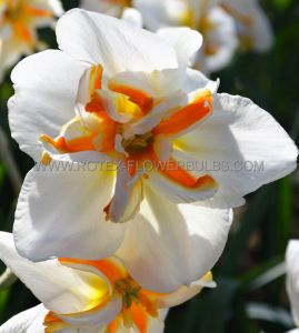 NARCISSUS BUTTERFLY 'BROADWAY STAR' 14-16 (8 PKGS.X 5)