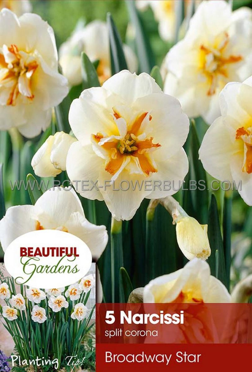 narcissus butterfly broadway star 1416 8 pkgsx 5