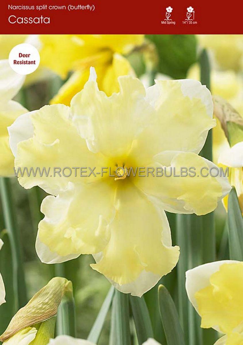 narcissus butterfly cassata 1416 50 pbinbox