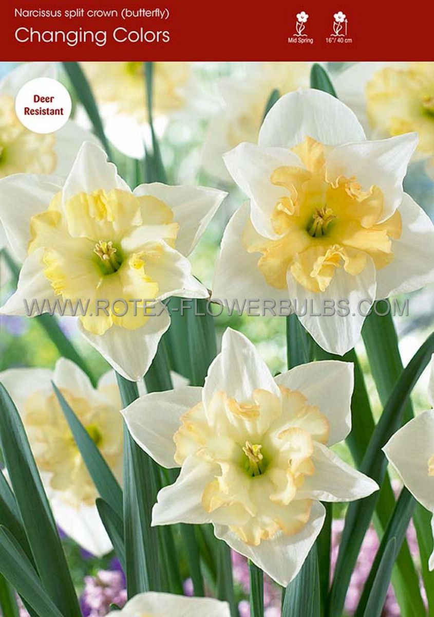 narcissus butterfly changing colors 1416 50 pbinbox