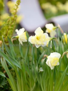 NARCISSUS BUTTERFLY 'CHANGING COLORS' 14-16 (8 PKGS.X 5)