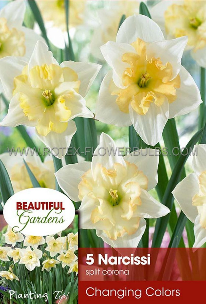 narcissus butterfly changing colors 1416 8 pkgsx 5