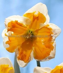 NARCISSUS BUTTERFLY 'ORANGERY' 14-16 (50 P.BINBOX)