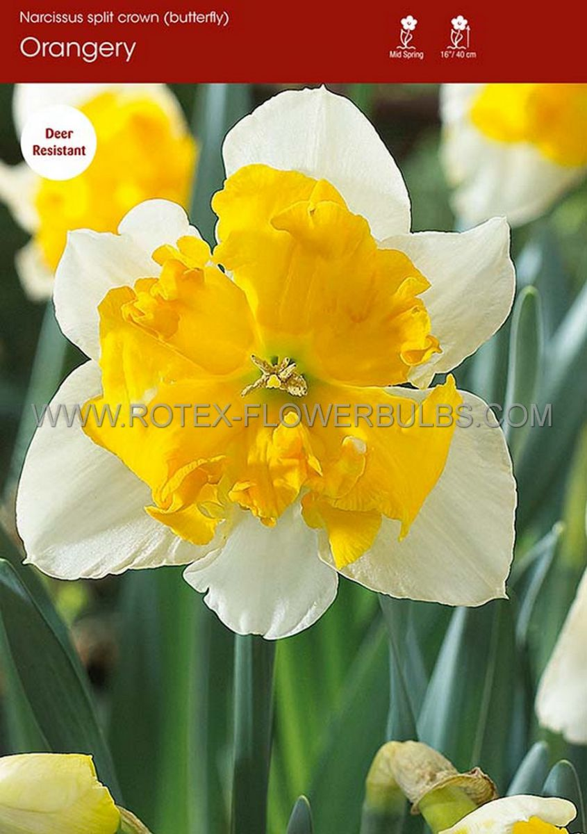 narcissus butterfly orangery 1416 50 pbinbox