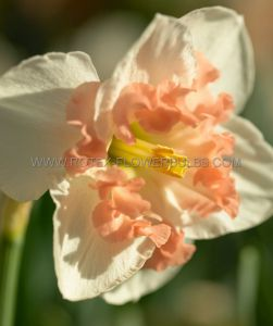 NARCISSUS BUTTERFLY 'PALMARES' 14-16 (8 PKGS.X 5)